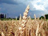 Beautiful field of wheat
