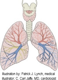 diagram of lungs showing the small pulmonary capillaries