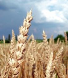 Field of grain